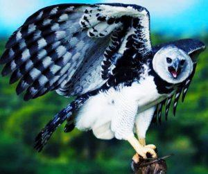 Интересное о птицах - о гарпиях