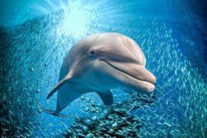 Интересно, что дельфины любят ядовитую рыбу фугу